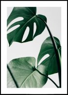 Monstera Leaves Plakat