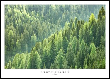 Forest of Old Spruce Plakat